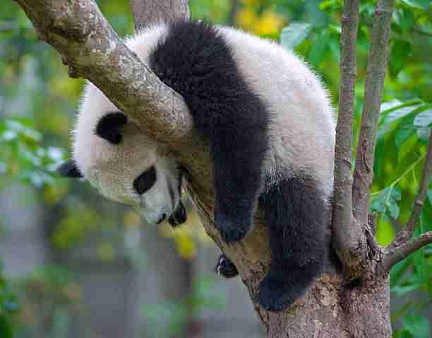 Lazy Panda in Deep Sleep