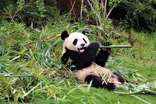 Giant Panda Eating Bamboos to Survive