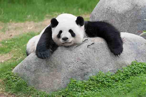 Giant Panda Sleeping During Daytime