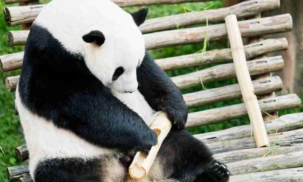Giant Panda Living in Zoo