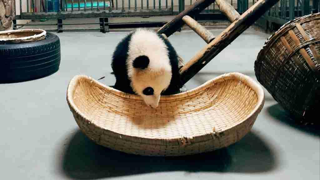 A Giant Panda In Captivity