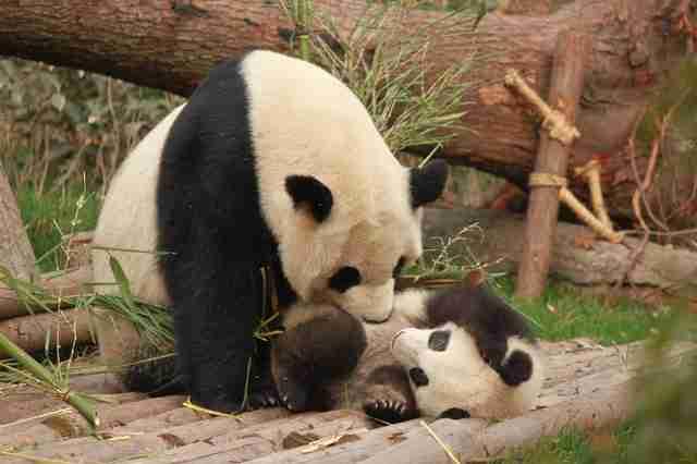 A femal giant panda nursing her baby