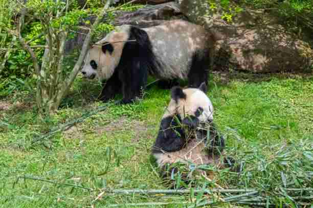 Baby Panda Staying with it's mother panda